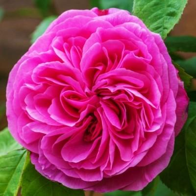 Роза Gertrude Jekyll фото