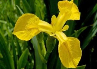 Ирис Golden Beauty фото