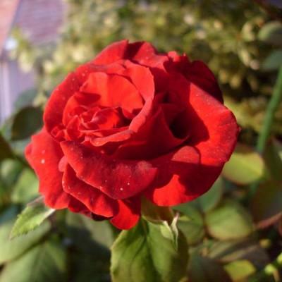 Роза Clb. Grand Chateau фото