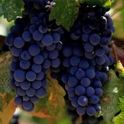 Виноград Мерло фото