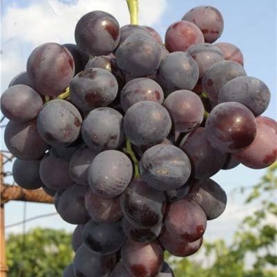 Виноград Нина фото