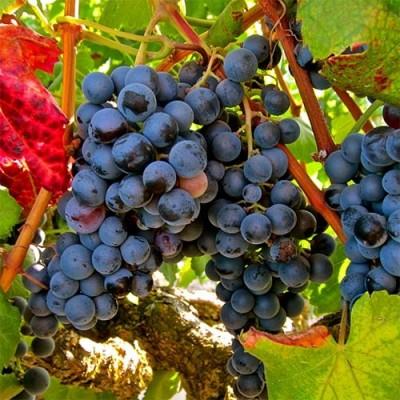 Виноград Аликант Буше фото