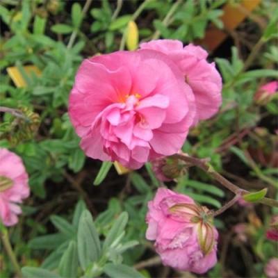Гелиантемум Annabel фото