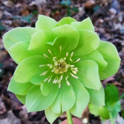 Морозник Orientalis Green Double фото