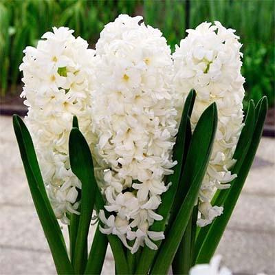 Гиацинт White Pearl фото