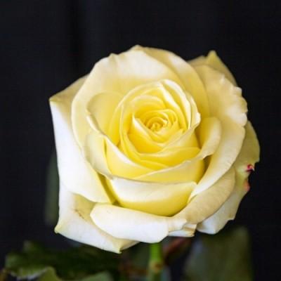 Роза Avalanche фото