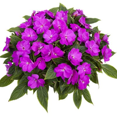 Бальзамин Tamarinda Max Lavender фото