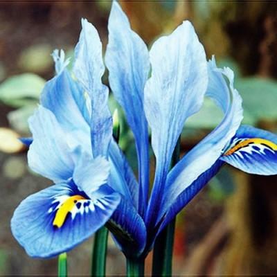 Ирис reticulata Alida фото