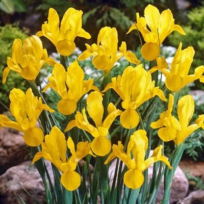 Ирис Hollandica Yellow фото