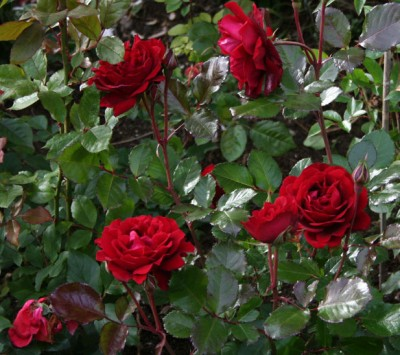 Роза Isabel Renaissance фото