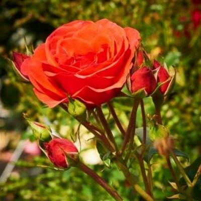Роза Jive фото