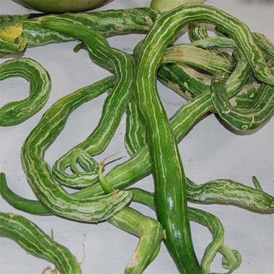 Лагенария Снаке (змея) фото