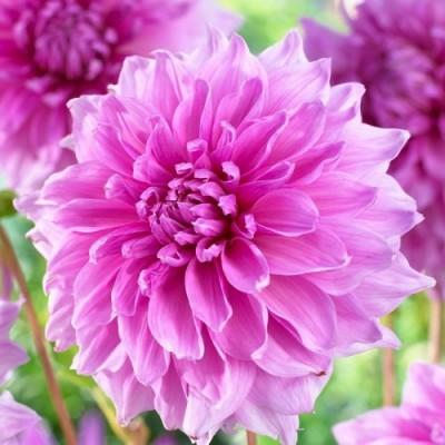 Георгина Lavender Perfection фото
