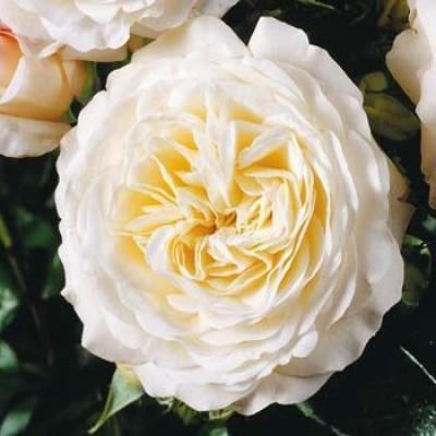 Роза Ledreborg фото