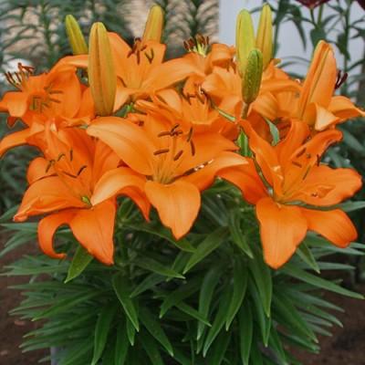 Лилия Orange Pixie фото