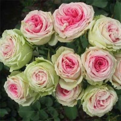 Роза Mimi Eden фото