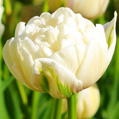 Тюльпан Mount Tacoma фото