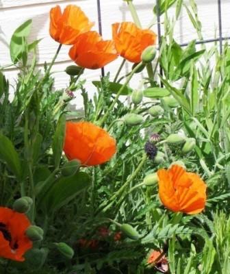 Мак Orange Glow фото