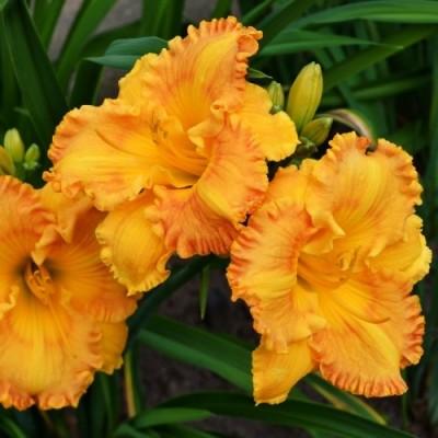 Лилейник Orange Nassau фото