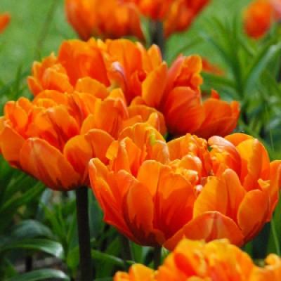 Тюльпан Orange Princess фото