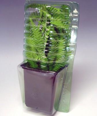 Папоротник niponicum Wollastonii фото