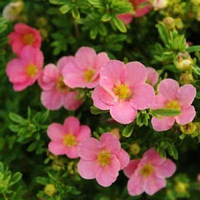 Лапчатка Lovely Pink фото