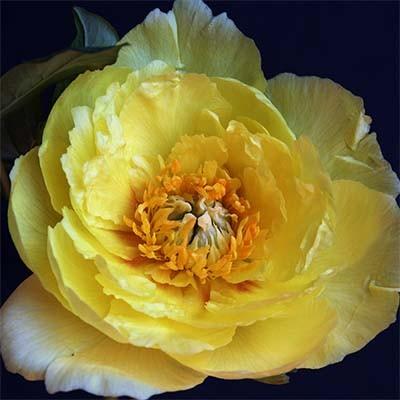 Пион ITOH Yellow Gem фото