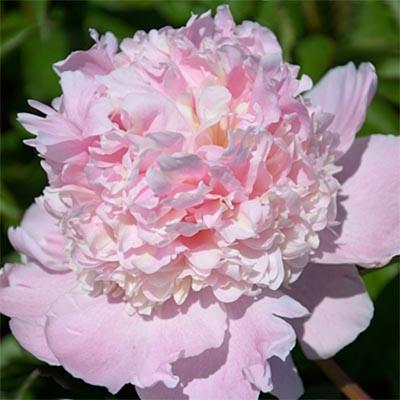 Пион Petticoat Flounce фото