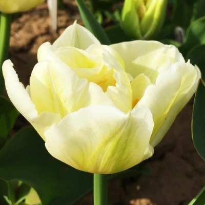 Тюльпан Mondial фото