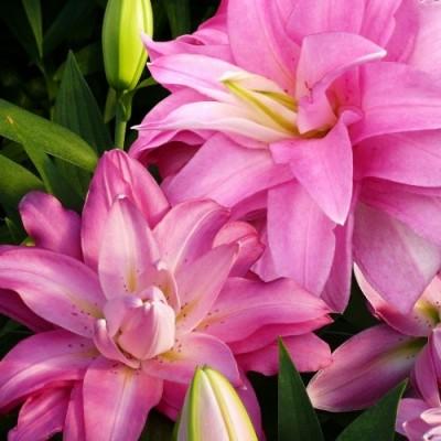 Лилия Lotus Breeze фото