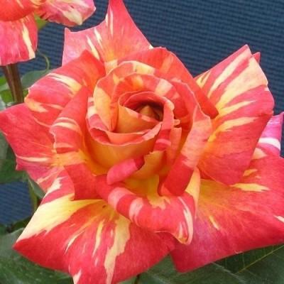 Роза Caribia фото