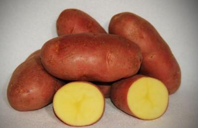 Картофель Asterix фото