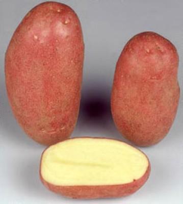 Картофель Rodeo фото