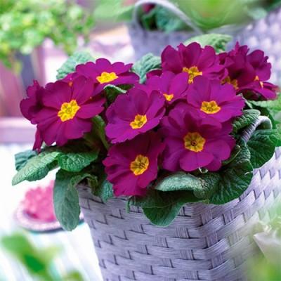 Примула Salome Lilac / violet фото