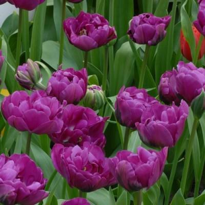 Тюльпан Purple Peony фото