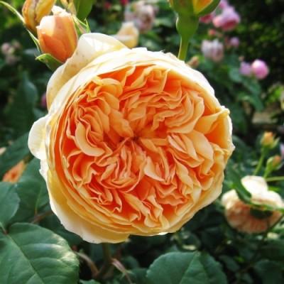 Роза Crown Princess Margareta (плетистая) фото