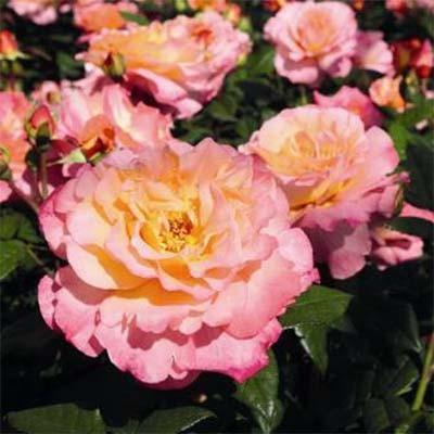 Роза Aquarell фото