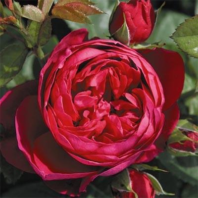 Роза Ascot фото