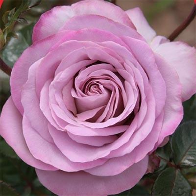 Роза Blue Girl фото