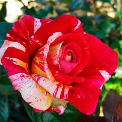 Роза Broceliande фото