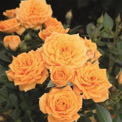 Роза Clementine фото