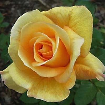 Роза Conquest фото