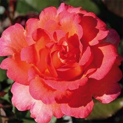 Роза Fairest Cape фото