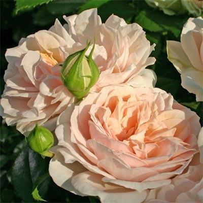 Роза Garden of Roses фото