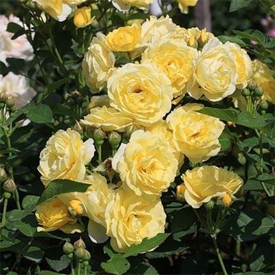 Роза Golden Border фото