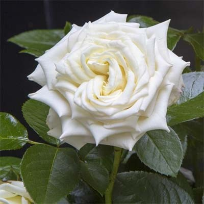 Роза Isle of White фото