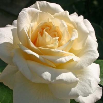Роза La Perla фото