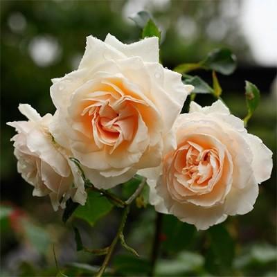 Роза плетистая Penny Lane фото