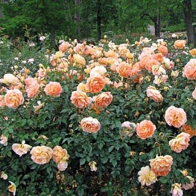 Роза Pat Austin фото
