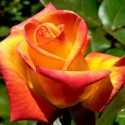 Роза Red Gold фото